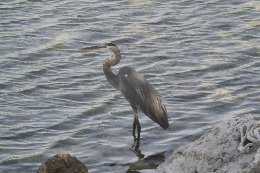 A heron in front of water rippled by the wind