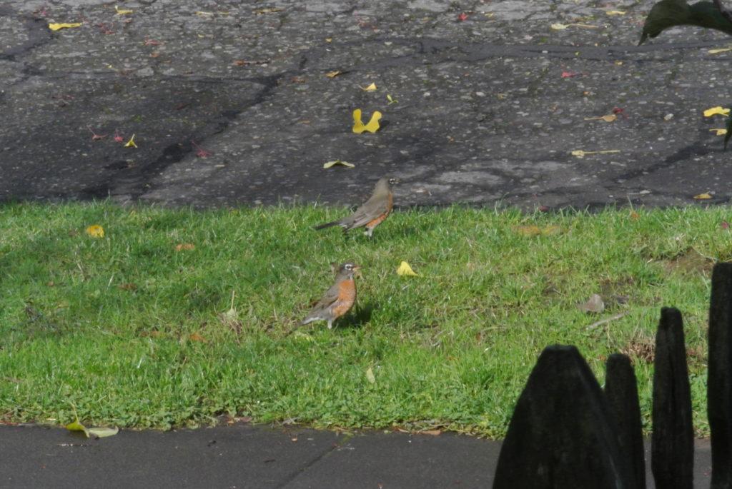 A couple robins outside